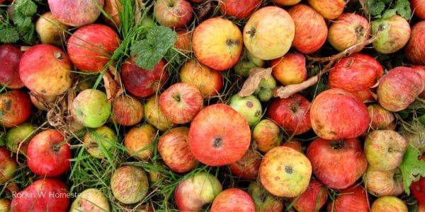 apple harvest ready for homemade snacks