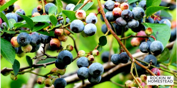 Blueberries are one of the essential plants to have in your edible landscape.