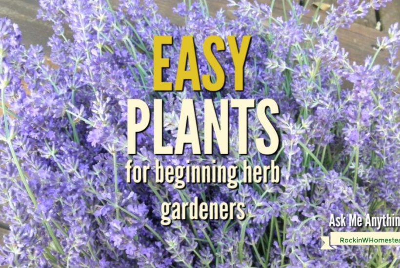 lavender flower harvest wuth a text overlay Easy Plants for beginning herb gardeners