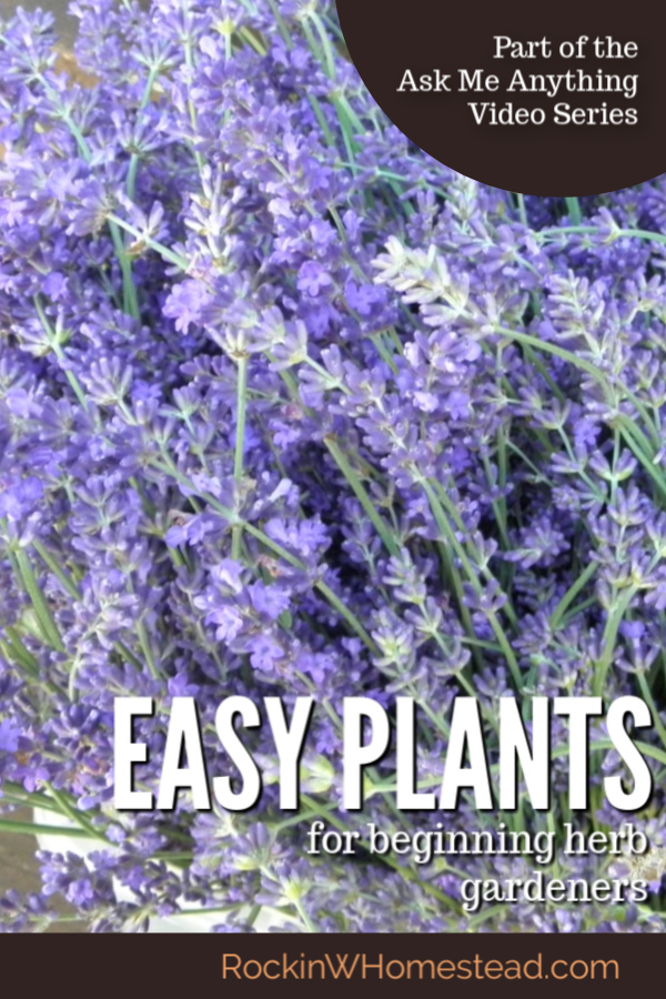 lavender flowers with a text overlay - easy plants for beginning herb gardeners