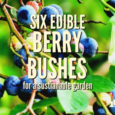 Six Edible Berry Bushes for a Sustainable Garden