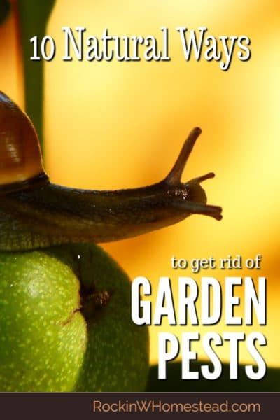 Garden pests can be a challenge but you don't have to use chemicals to get rid of pests in your vegetable or herb gardens. These 10 natural garden pest control ideas really do work.