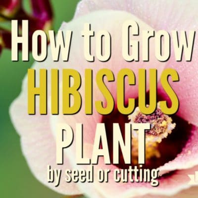 Grow Hibiscus Plant from Seed and Cutting