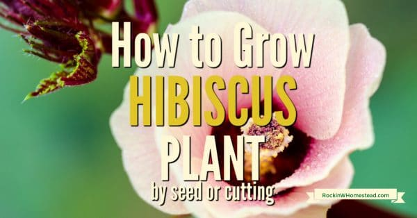 Hibiscus is a strikingly beautiful plant and is useful as a garden, terrace, or balcony plant.  It is easy to grow if you give it plenty of sun and maintain constant moisture.