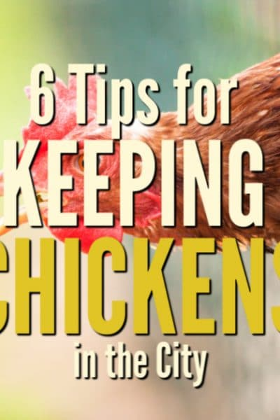 You may think that you have to live down a long country road or have a lot of available land to raise chicken, but the ability for keeping chickens in the city is becoming a reality for many urban and suburban homesteaders.
