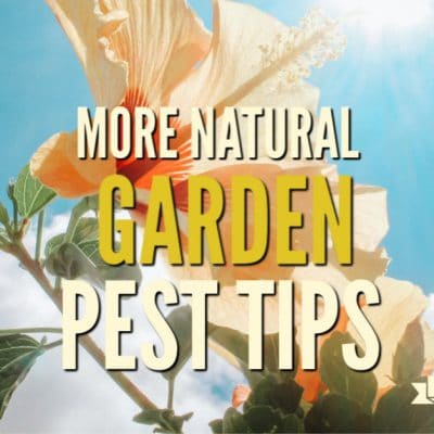 More Natural Garden Pest Tips