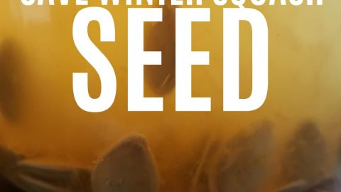 How to Save Winter Squash Seed
