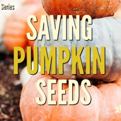 Healthy Snacks: Saving Pumpkin Seeds to Eat